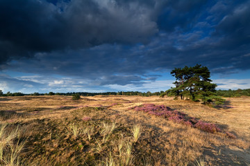 sunny meadow with flowering heather