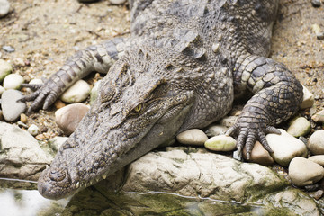 Close up The head of Crocodile