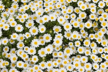 ノースポールの花畑