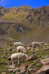 Sheep on mountain background