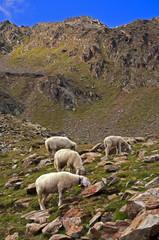 Sheep on mountain background