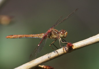 Dragonfly and larval water mites in family Arrenuridae