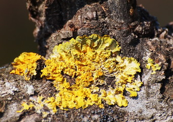 Lichen on tree, orange lichen