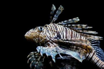 Lionfish, head shot