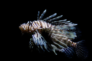 Lionfish, full shot