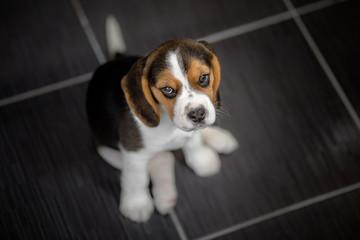 beagle puppy indoor