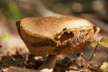 Big old boletus mushroom