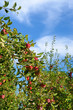 Fresh ripe apples on apple tree branch in the garden against the
