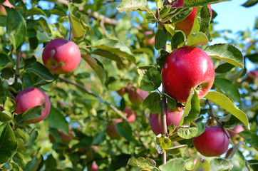 Fresh ripe apples on apple tree branch in the garden