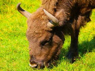 Head of european bison