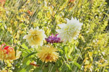 Летний дождь и георгины