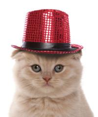 Scottish Fold Cream Kitten