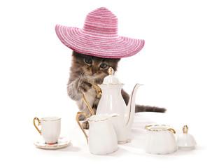 High tea asian kitten cat
