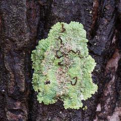 Flavoparmelia caperata macrolichens