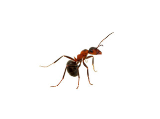 Ant on white