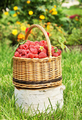 Wicker basket with ripe red raspberry on the birch log
