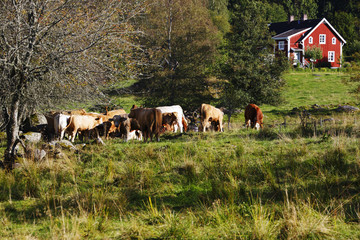 old red farm with grazing cows, cattle in a rural surrounding