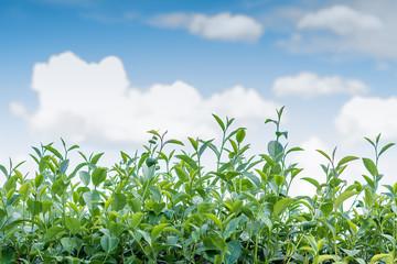 Tea leaves with sky