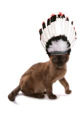 brown burmese kitten