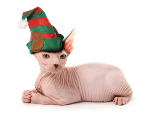 sphinx elf cat