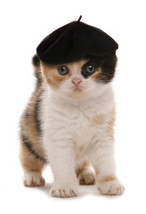 Scottish Fold Red White and Black kitten