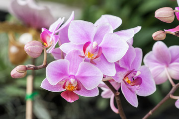 Beautiful orchid (Phalaenopsis)