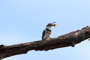 Pied kingfisher killing a fish by hitting it on branch