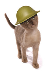 Kitten wearing army helmet studio cutout