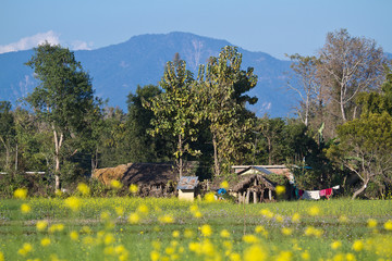 Terai landscape with colza flowers in Nepal