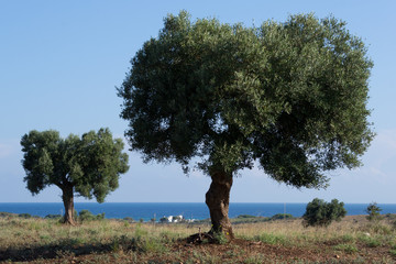 two olive trees near the ocean in the background