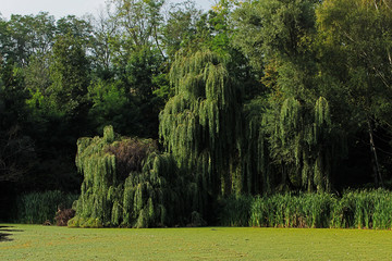 Green willow on the bank of a pond