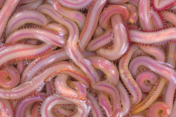 Bloodworms in salt water