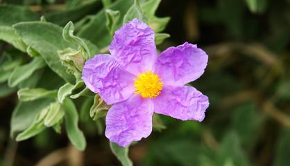 Flor de color rosaceo
