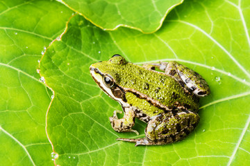rana esculenta - common european green frog on a dewy leaf