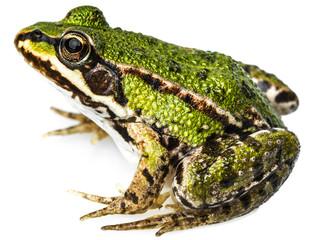 rana esculenta - common european green frog