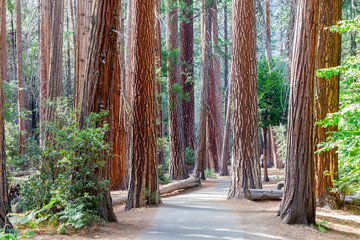 Yosemite National Park trees. California, USA