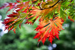 Herbst. Ahorn