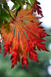 Herbst - Ahorn