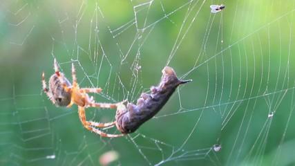Attacke auf eine Raupe im Spinnennetz