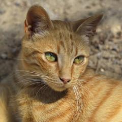 Kot, portret kota z greckiej krety