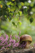 Calluna vulgaris - Common Heather - edible mushroom - cep