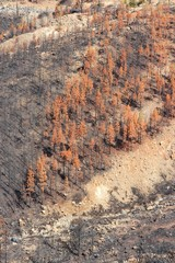 Forest destruction by fire in Tenerife
