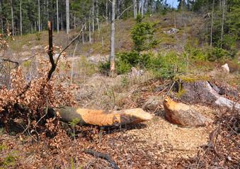 Vom Biber gefällter Baum