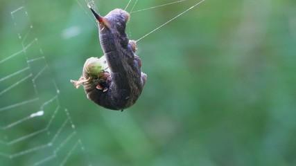 Agonie einer Raupe im Spinnennetz