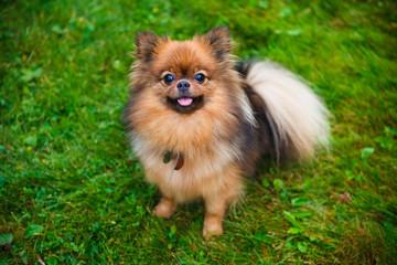 Pomeranian dog (Zwergspitz)