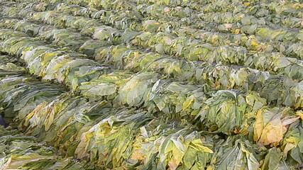 Raw Tobacco Leaf From Farm