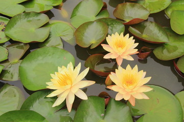 three Orange lotus with the leaf