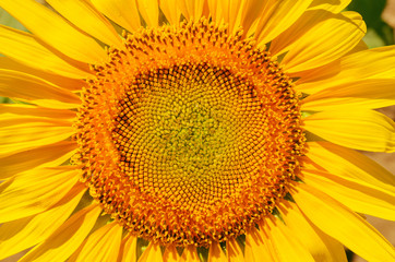 central part of sunflower closeup