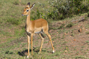 Young female impala antelope
