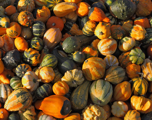 The mature green, striped and orange pumpkins